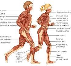 Human Anatomy Flashcards 1musclesatside Jpg