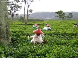 Seeking Tea Tea Leaf Fields