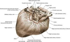 Dog Anatomy Heart Cardiac Surgery Veterian Key