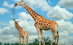 hd giraffes wallpapers and photos hd animals wallpapers