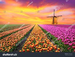 Tulip Field Magical Landscape Sunrise Over Tulip Field Stock Photo 400062880