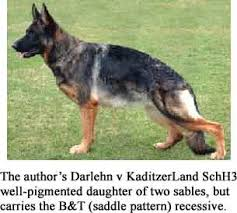Light Sable German Shepherd Sables Genetics And Myths Sirius Dog
