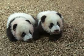 panda cubs born at toronto zoo toronto