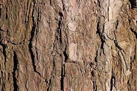 free photo bark pine tree texture free image on pixabay