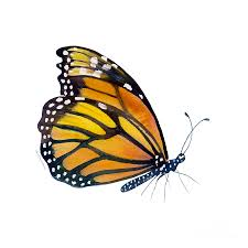 monarch butterfly drawing simple