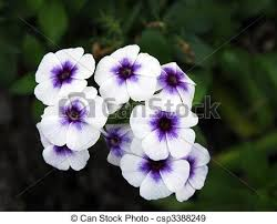 vinca flower an isolated of white purple vinca flowers stock photographs