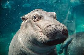 hooray for fiona the hippo our bundle of social media the