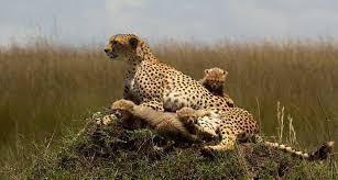 cheetah symbolism a message spirit animal totems