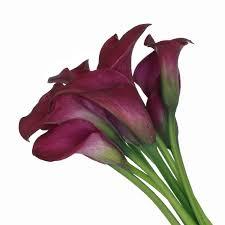 calla colors mini calla lilies wholesale bulk flowers fiftyflowers