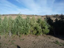 christmas trees oaklands ranch