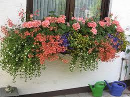 geranien balkon wandelröschen zu geranien mein schöner garten forum