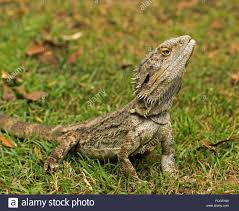 bearded dragon lizard pogona barbata australian native animal in