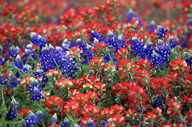 cofran u0027s texas hill country portal photo gallery for wildflowers