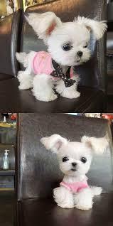 best 25 tiny dog ideas on pinterest tiny puppies tiny dogs for