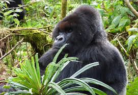 gorilla made famous by dian fossey u0027returns from the dead u0027