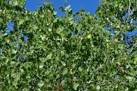 Cottonwood Tree Flowers - populus fremontii fremont cottonwood southwest desert flora