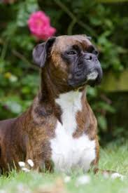 boxer dog mean top 5 best dog foods for boxers 2017 buyer u0027s guide