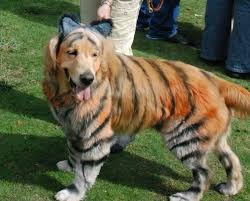Dog Halloween Costumes Adults Golden Retriever Painted Tiger Halloween Costume Howl
