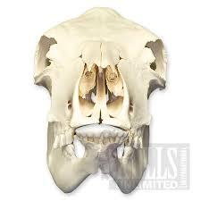 cow skull bos taurus wsm 461
