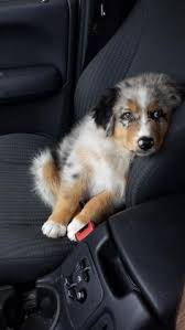 australian shepherd overprotective australian shepherd smart working dog aussies australian
