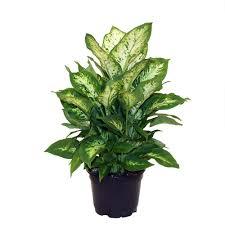 delray plants zz plant in 6 in pot 6zz the home depot