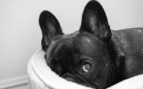 french bulldog wallpapers 4usky com