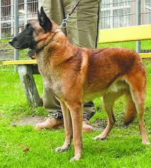 belgian sheepdog gif superdog u0027 set to outdo other species at bsf