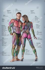 Human Anatomy Full Body Picture Anatomy Male Female Muscular System Anterior Stock Photo 156616898