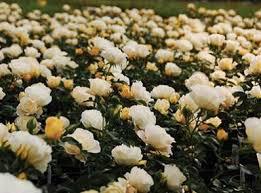 drift roses best 25 drift roses ideas on ground cover roses