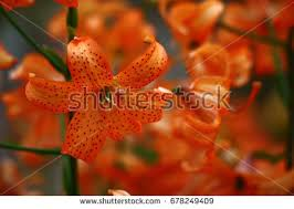 Asian Lilies Considerable Quantity Small Orange Asian Lilies Stock Photo
