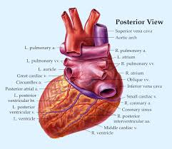 Heart Anatomy Arteries Heart Anatomy Page 7