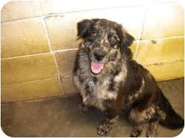 australian shepherd long hair jasmine adopted dog new roads la catahoula leopard dog
