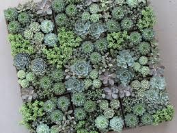 13 succulents that are native easy care mini succulent garden ideas cactus succulent