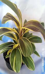 ti plant cordyline fruticosa cordyline terminalis hawaiian ti leaf