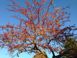 plants native to pennsylvania 10 best ornamental trees for southeastern pa gardens turpin
