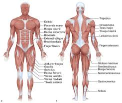 Human Body Muscles Images Europeactive U0027s Foundations For Exercise Professionals Learn Which