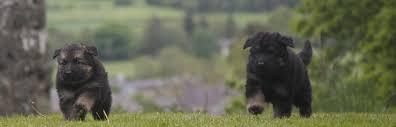 affenpinscher qualities puppy training behaviour u0026 obedience classes