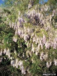 non native invasive plants nonnative wisterias nonnative invasive plants of southern