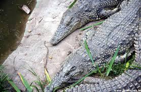 images of alligator wallpaper sc
