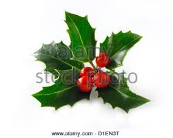 christmas background with holly berry leaves on dark green