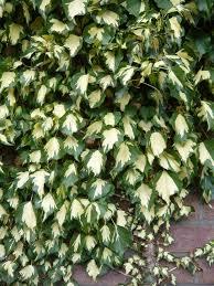 kletterpflanzen fã r balkon 10 best schöne kletterpflanzen images on september