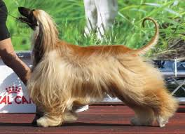 afghan hound afghan hound dog breed choosing a breed that u0027s right for you