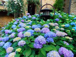 when to prune hydrangeas in east tennessee willow ridge