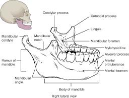 Human Jaw Bone Anatomy The Skull Anatomy And Physiology