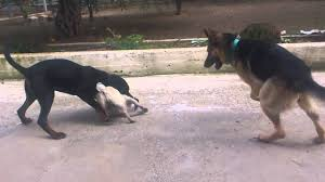 belgian shepherd vs rottweiler rottweiler dog vs german shepherd