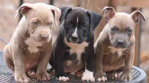meanest dog breeds kids dog breeds puppies the pitbull meanest