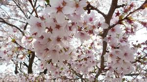 photos of cherry blossoms in washington dc
