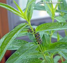how to raise monarch butterflies indoors 21 survival tips