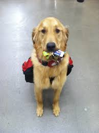 5 common service dog myths debunked anything pawsable