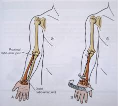 Anatomy Of The Right Arm Notes On Anatomy And Physiology The Elbow Forearm Complex